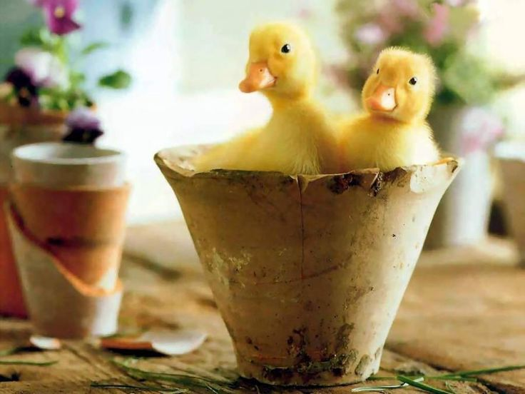 Real ducklings aw!
