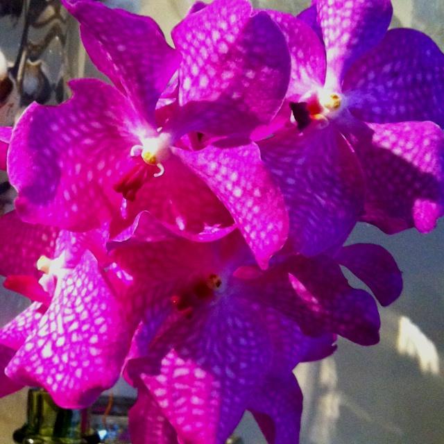 vanda orchidee flowers pinterest. Black Bedroom Furniture Sets. Home Design Ideas
