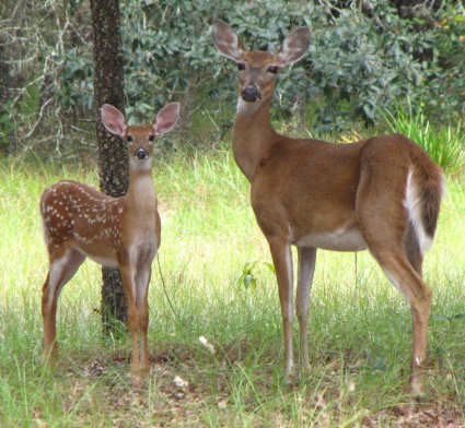 white-tailed deer and baby | Beasts of the Field and ... - photo#34