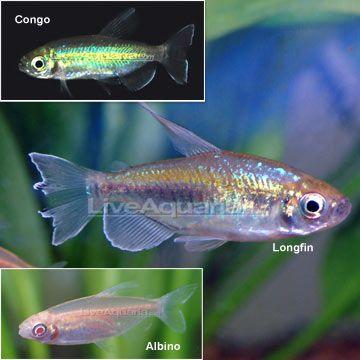Congo Tetra : Congo Tetra planted aquarium Pinterest