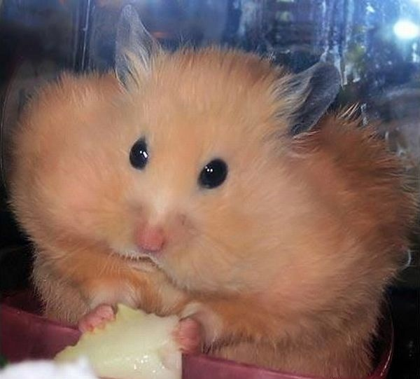hamster with stuffed cheeks bad ass creatures pinterest