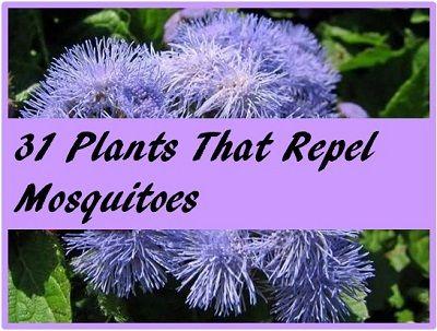 Plants That Repel Mosquitos Misc Pinterest