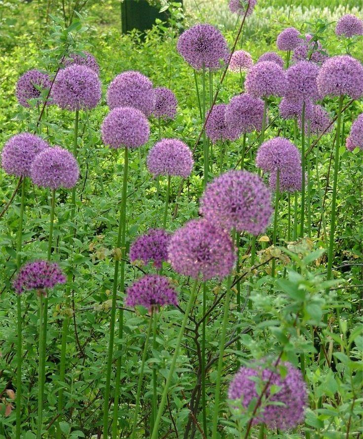 allium aflatunense purple sensation sachet backyard plants pinter. Black Bedroom Furniture Sets. Home Design Ideas