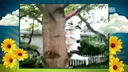 tree climbing border collie