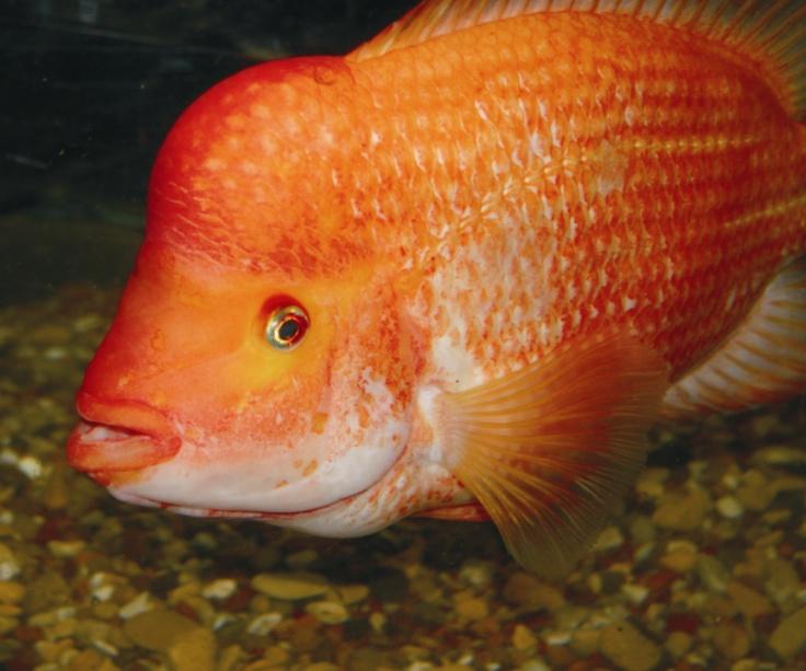 Red devil cichlids pinterest for Red devil fish