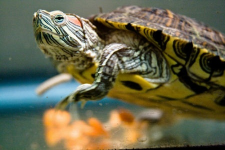 Pet Turtle. Turtles... Pinterest
