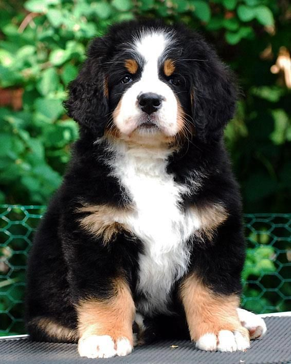 How to Train Bernese Mountain Dogs How to Train Bernese Mountain Dogs new images