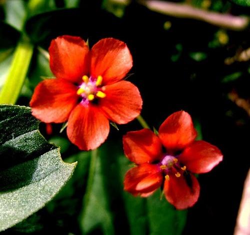 The Scarlet Pimpernel Flower | The Scarlet Pimpernel ...