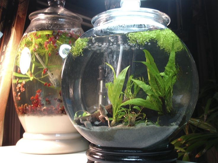 African dwarf frogs plants aquariums and creatures for Fish tank frogs