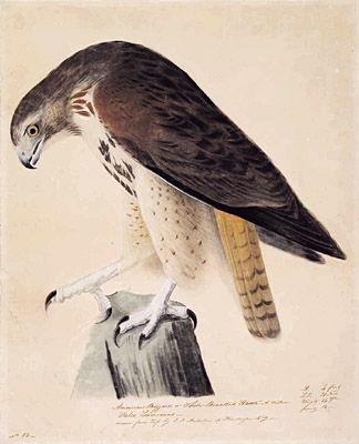 centuriespast:    John James Audubon, American, 1785-1851  American Buzzard or White Breasted Hawk … Falco LeverianusAbout 1810-20  The Hood Museum of Art