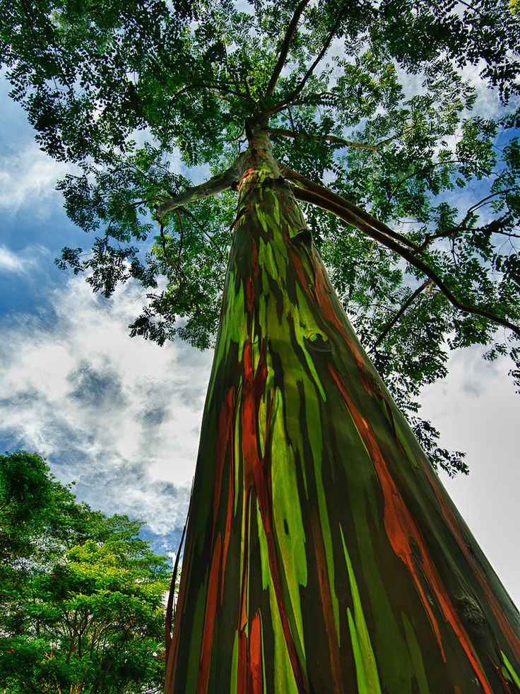 The rainbow eucalyptus, which grows throughout the South Pacific, is prized for both the colorful patches left by its shedding bark and for its pulpwood, which is used to make paper.