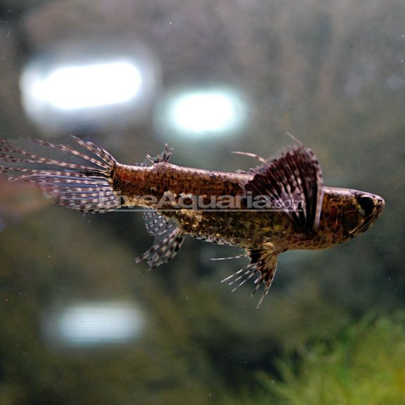 Pin by amy beth fitzpatrick on animals aquariums fish for African butterfly fish