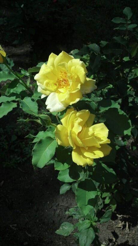 yellow rose bush | mama | Pinterest
