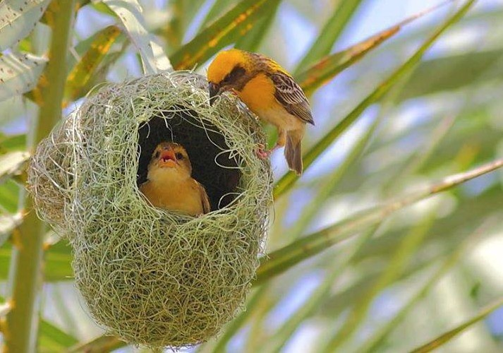Weaver bird nest pictures - photo#8