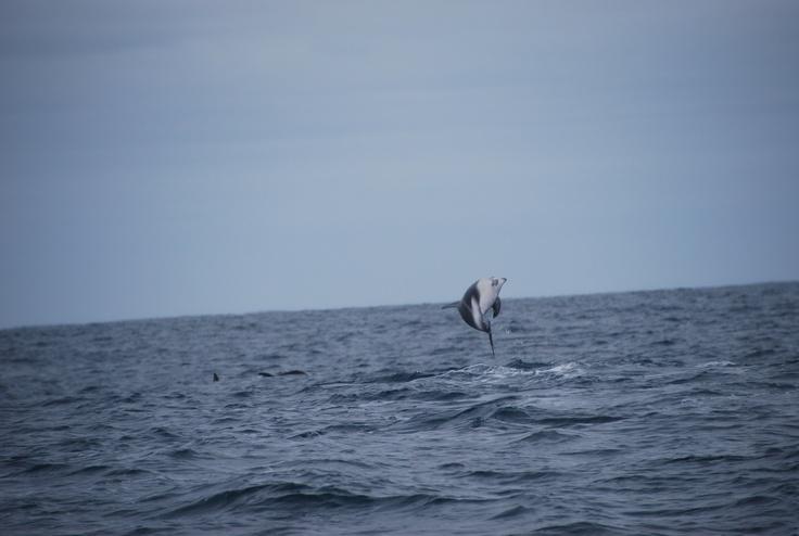 Dolphin, Kaikoura, New Zealand   Animals Dolphins   Pinterest
