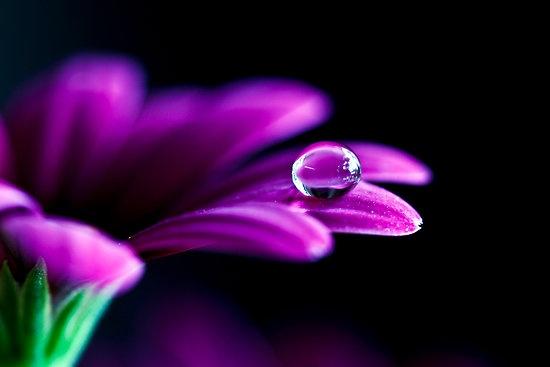 gerbera,waterdrop,purple,macro