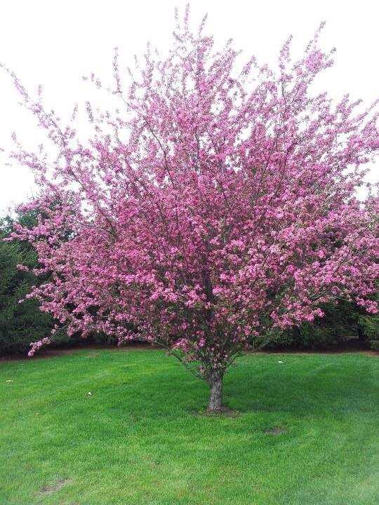 Keywords Flowering Crab Tree and Tags