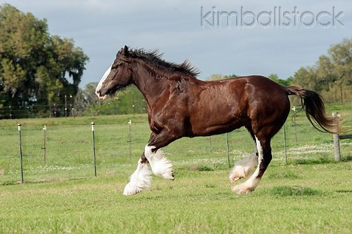 Clydesdale Draft Horse Mare : Clydesdale Horse love : Pinterest