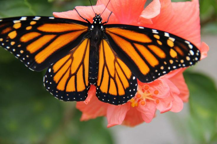 Amazing Female Monarch Butterfly Butterfly House Pinterest