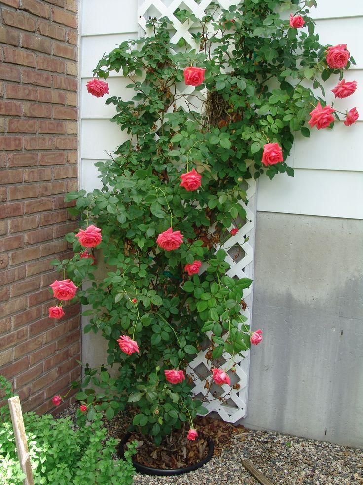 Climbing rose small garden design pinterest for Small rose garden plans