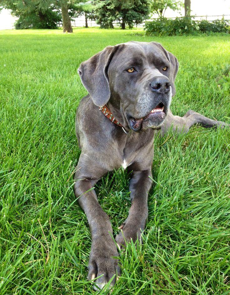 Venti the #Mastiff #dog / #large #canine / #gentle #giant