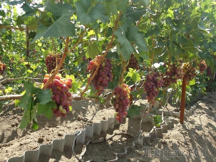виноград ризомат фото