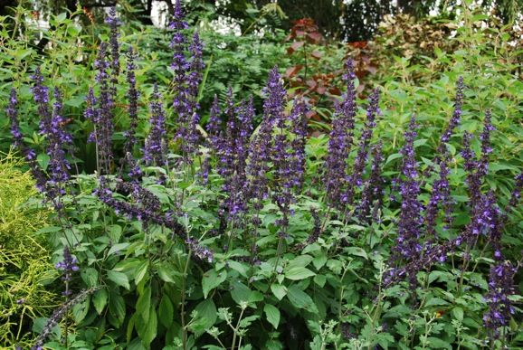 "Sage 'Mystic Spires Blue"" (Salvia) 