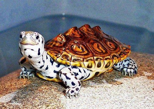 Diamondback Terrapin Turtle pets : amphibians, reptiles, chelonians ...