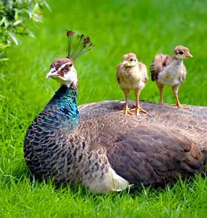 Another peahen with chicks on back!   CHOOK COOP!   Pinterest