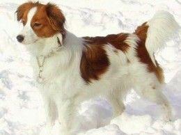 I simply love this breed (kooikerhondje)!