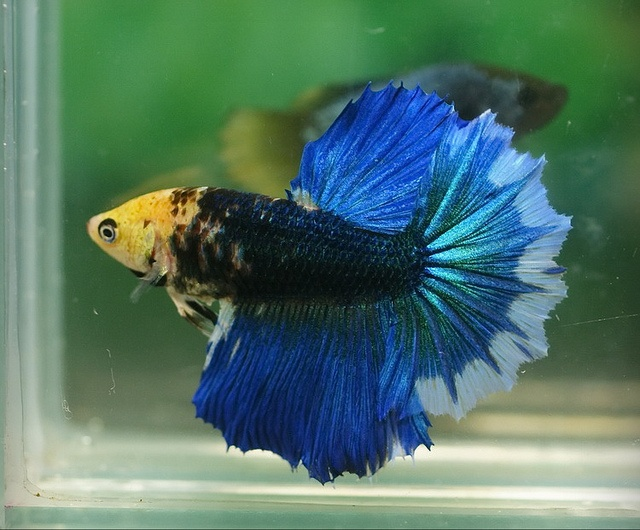 Large fin female betta fighting fish pinterest for Large betta fish tank
