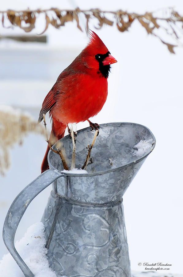 Cardinal on Water can Winter Print by Randall Branham