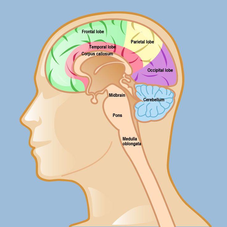 the human body brain essays