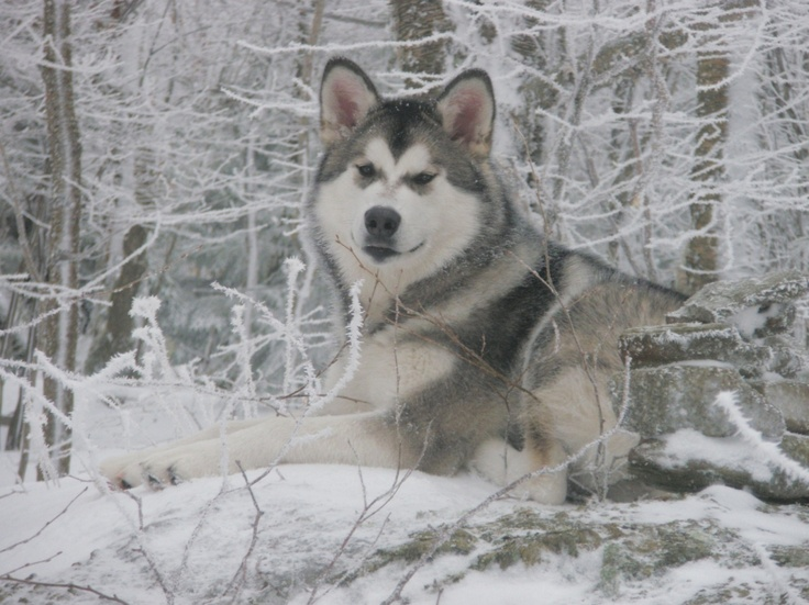 Gray and White Alaskan Malamute | Candy Rock Alaskan ...