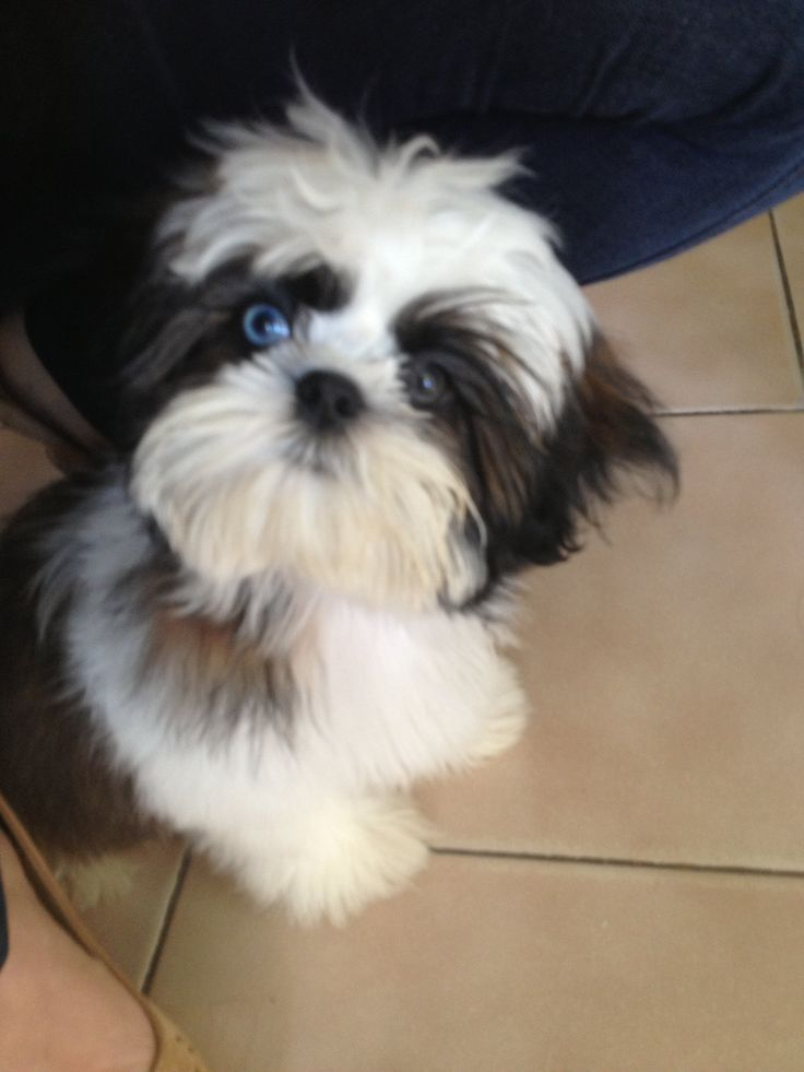 Shih tzu | Can I pet your dog? (And other animals) | Pinterest