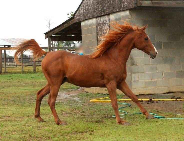 Chestnut arabian horses - photo#16