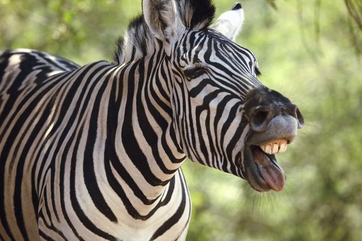 Zebra Homework Help 92
