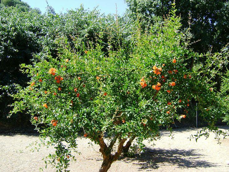 Granado rboles frutales pinterest for Arboles enanos para jardin