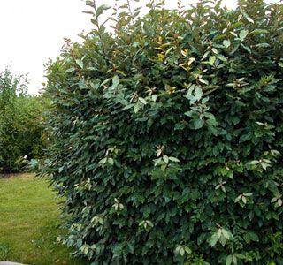 elaeagnus ebbingei persistant plantes arbres et arbustes p. Black Bedroom Furniture Sets. Home Design Ideas