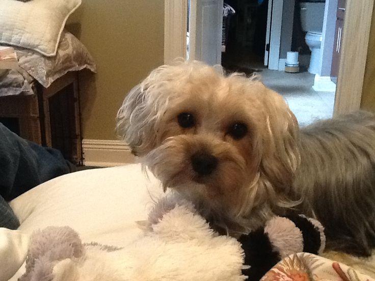 Yorkie poo full grown | Pretty Pets | Pinterest