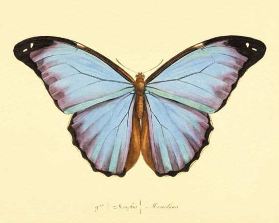 Vintage Blue Butterfly Print Nature print Natural History antique    Vintage Butterfly Print