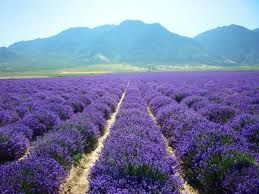 Young Living's Lavender Farm, Mona Utah