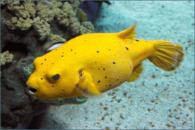 Golden puffer under sea beauty pinterest for Puffer fish for sale