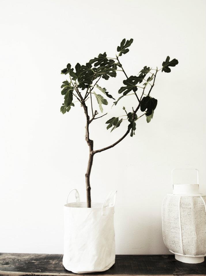 Fig on white
