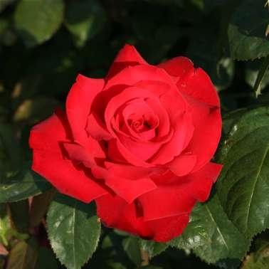 valentine rose uk