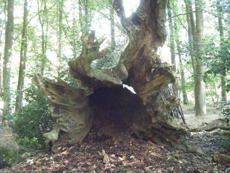 Fallen tree in Savernake Forest. | Trees | Pinterest