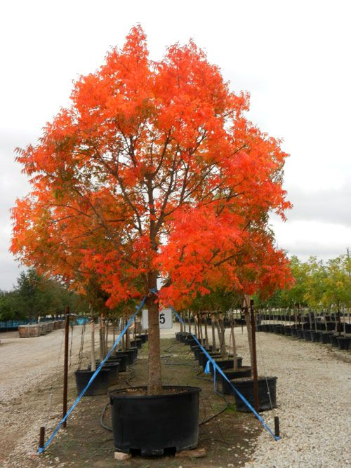 Chinese Pistache Tree Chinese Pistachio Trees | Dog Breeds ...