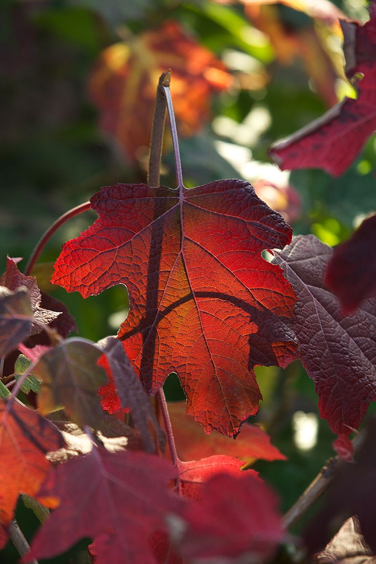 Oakleaf Hydrangea Fall Color Oakleaf Hydrangea Fall Color