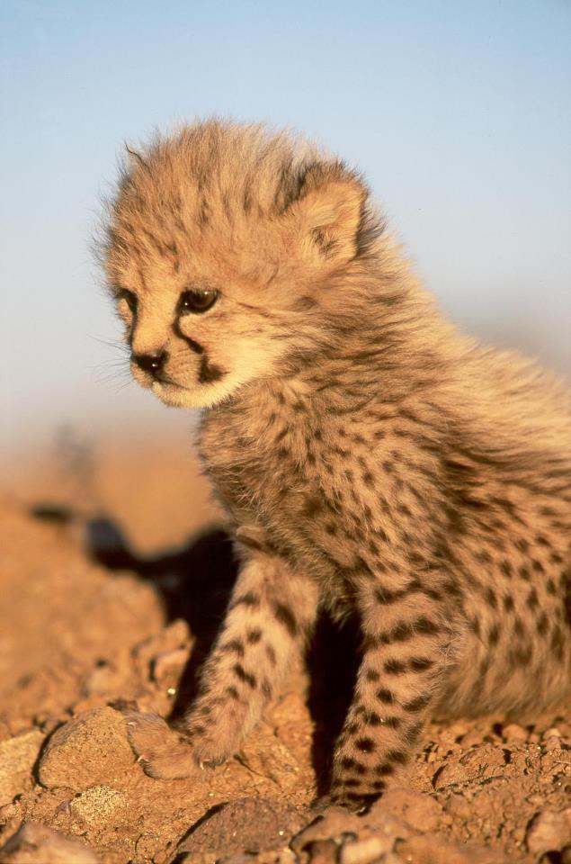 baby cheetah | Cats Say Meow | Pinterest