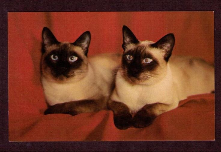 Cross eyed Siamese Cats.. I want them! | cats cats cats ...